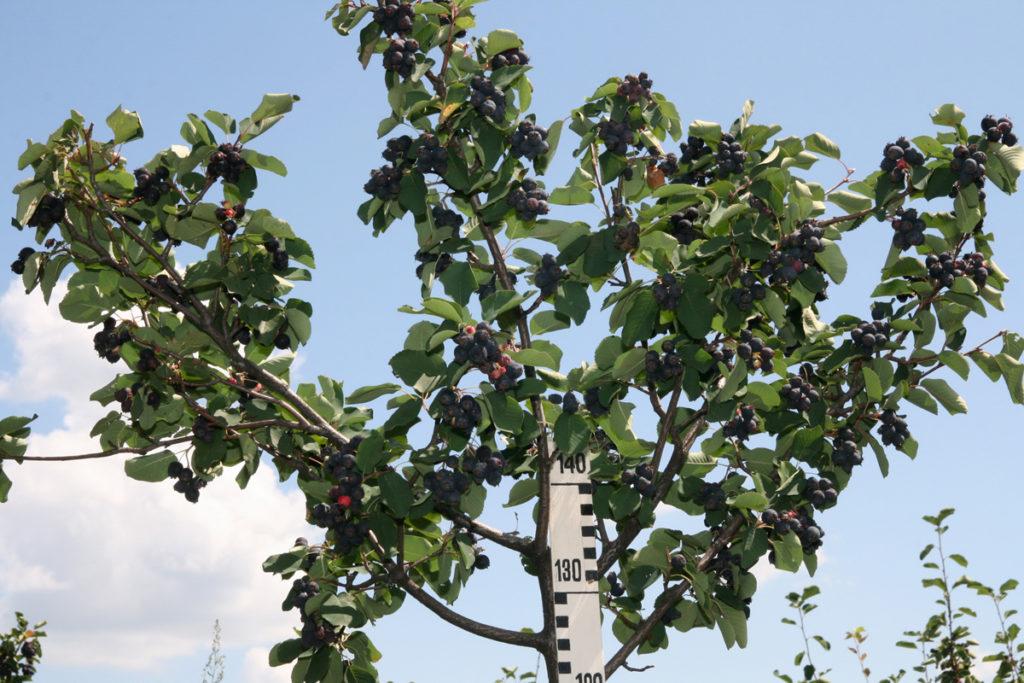 Рис. 3. Крона ирги колосовидной, развившаяся по типу дерева. Результат проявления эпигенетических механизмов
