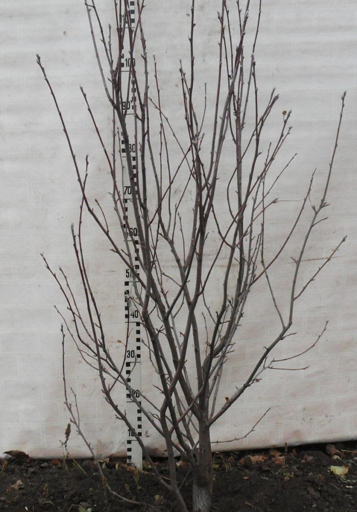 Рис. 5. Крона ирги колосовидной, имеющая типичное строение