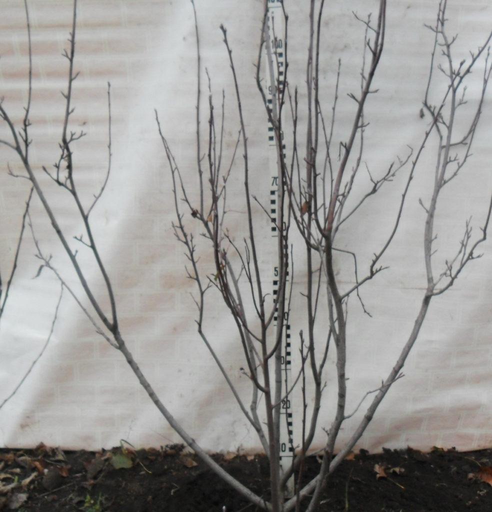 Рис. 6. Крона ирги колосовидной, развившаяся по типу куста черной смородины