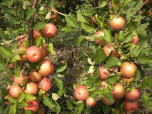 Рис. 9. Плодоношение сорта яблони Суперинтенсивная. Результат проявления второй информационной системы
