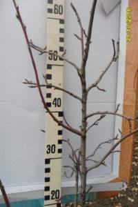 Рис. 7. Крона ирги колосовидной, развившаяся по типу дерева яблони